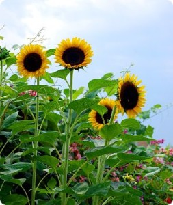 garden-sunflower_small
